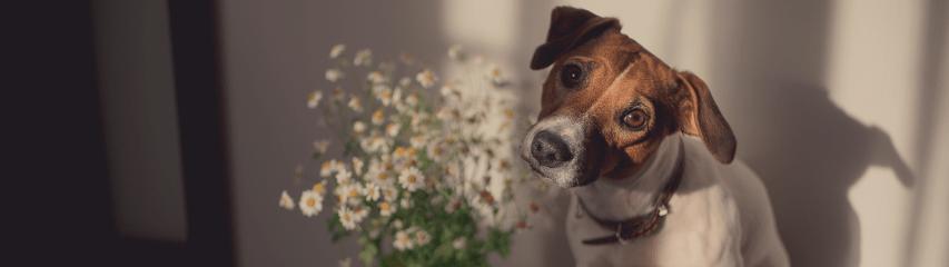 cachorro camomila